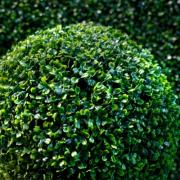 Buxus sempervirens, P9, wholesale
