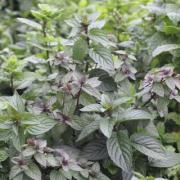 Mint Chocolate Chip, P9, Wholesale